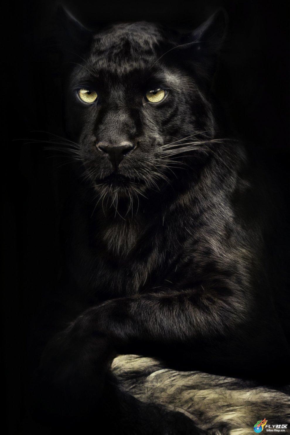 在印度我们叫它黑豹,黑豹身上的黑色和其他大型猫科动物有着显著的