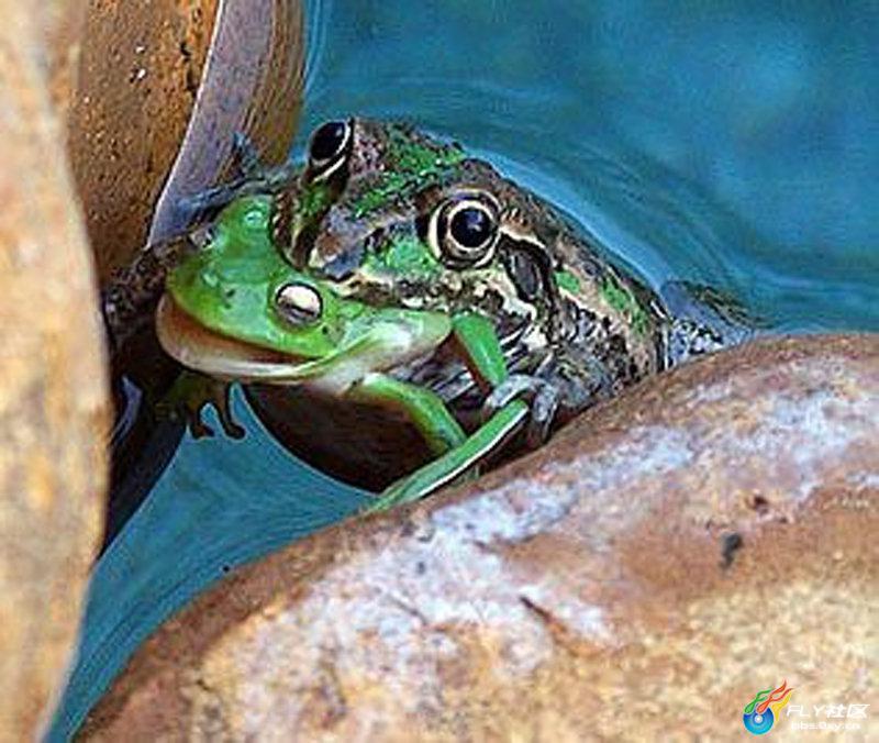 5,青蛙捕食青蛙; 青蛙捕食青蛙; 生死瞬间 摄影师抓拍自然界动物的